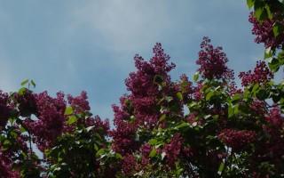 Ботанический сад в Киеве и цветение сирени
