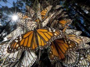 Заповедник бабочек Монарх
